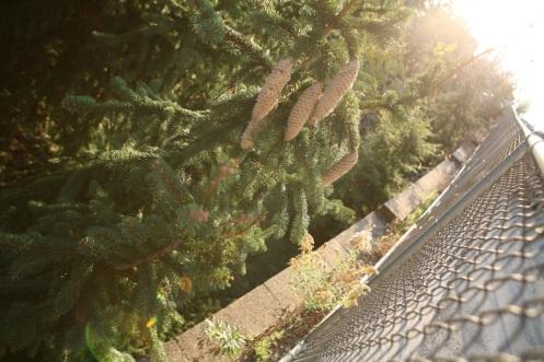 pine-cones-renewal-chain-link