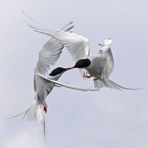 birds-in-mid-air_1614143i