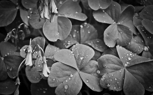 clover -- gray_clover_water_drops_spring_flower_wet_leaf_hd-wallpaper-1692923